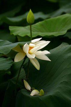 Pin by mirei on hasulotus poems pinterest lotus flower seeds pin by mirei on hasulotus poems pinterest lotus flower seeds and flower seeds mightylinksfo