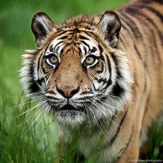 A beautiful Sumatran Tiger named Puna at WHF Big Cat Sanctuary... #animals #tiger #whf #WildlifeHeritageFoundation by brookshawphotography
