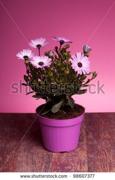 Sold! Stock photo available for sale at Shutterstock: Pot with pink african daisy on wood table with pink background. - stock photo