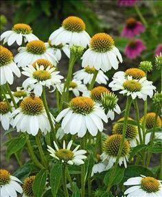 Sir Williams Gardens - Echinacea 'Pow Wow White' , $13.95 (http://www.sirwilliamsgardens.com/products/Echinacea-'Pow-Wow-White'-.html)