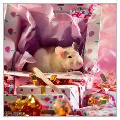 Feirefiz, fancy rat!