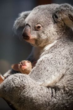 Koala and joey (baby). Australia is full of unique wildlife The Animals, My Animal, Baby Animals, Funny Animals, Wild Animals, Baby Giraffes, Nature Animals, Beautiful Creatures, Animals Beautiful