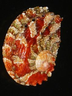 GLORIOUS CHERRY RED + PINK Haliotis queketti, common name Quekett's abalone, is a species of sea snail, a marine gastropod mollusk in the family Haliotidae, the abalones. Shell Collection, Shell Beach, Nautilus, Ocean Creatures, Shell Art, Shell Crafts, Ocean Life, Marine Life, Starfish