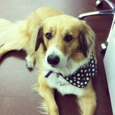 Penny the rescue pup rocks the cutest scarves to work! #rescue #adoption #adopt #dog #cute #aww #aroundtheoffice #dogs