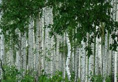 """native birch that can be used as our """"buffer"""" bosque species Betula Pendula, Nature Tree, Tree Bark, Garden Trees, Leaf Art, Rubrics, Cactus Plants, Palm Trees, Shrubs"""