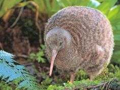 The Kiwi Everyone knows the beloved endangered kiwi is a flightless bird. As if to make up for its winged impotence, the kiwi is actually a violent, temperamental little bird. Unusual Animals, Rare Animals, Animal Species, Endangered Species, Cute Creatures, Beautiful Creatures, Kiwi Bird, Nature Sauvage, Any Birds