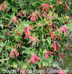 Charming and carefree, coral honeysuckle attracts hummingbirds and butterflies to its flowers and songbirds to its berries.