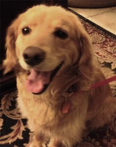 This is Clancy a 5 yr old Golden/Cocker Spaniel mix. He is neutered, current on vaccinations, potty & crate trained, rides well in a car, has good house manners, good with dogs. Golden Retriever Rescue, El Paso, TX. http://www.grrep.org/Available-Goldens.html