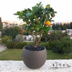 Αυτή την Κυριακή είναι η Γιορτή του Πατέρα! Χαρίστε ένα μοναδικό φυτό, στον σημαντικότερο ήρωα της ζωής σας!  Calamondin (Citrofortunella microcarpa) Ένα τροπικό εσπεριδοειδή φυτό, το οποίο μοιάζει με δέντρο μανταρινιών, αλλά είναι καλαμοντίν. Το φυτό έχει ένα υπέροχο άρωμα! Το πιο κατάλληλο σημείο για να τοποθετηθεί το φυτό  είναι έξω ή σε ένα πολύ φωτεινό σημείο μέσα στο σπίτι, κοντά στο παράθυρο. Το πότισμα πρέπει να γίνεται περίπου μία φορά την εβδομάδα, ανάλογα με τη θερμοκρασία του… Plants, Plant, Planets