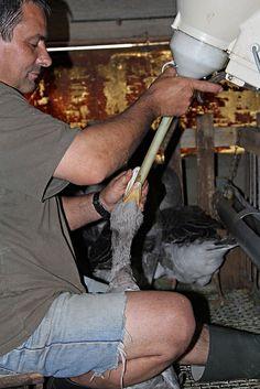 Sarlat Goose Farm - Force feeding
