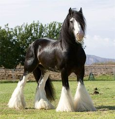 Gypsy Vanner Horse with furry legs.Describe your pin