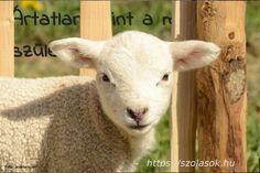 Free Image on Pixabay - Animal, Mammal, Farm, Sheep, Lamb Cool Calendars, Holiday Dates, Open Adoption, Adoption Certificate, Baby Lamb, Sheep And Lamb, Adopting A Child, Reference Images, Animals Of The World