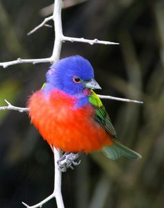 painted bunting    (photo by doug lloyd birds of a feather