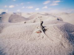 White Sands, White Lizard.  A lizard only found in the white sands of New Mexico.