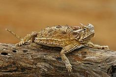 Horned Toad Lizard - caught these everday of my life ages 5-8 (: They are endangered now ):