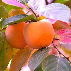 Diospyros Kaki 'Fuyu' - Kaki pomme - Plaqueminier de Chine. Variété de Kaki qui se consomme ferme.