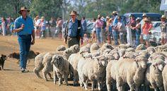 Sheep dog trials, near Toowoomba, Qld Australia