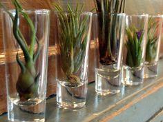 Air plants * cool display
