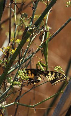 Macaone sardo - Papilio machaon Linnaeus, 1758 - Sui bordi dello stagno di Sale Porcus - costa sud/sud-ovest - Nikon D700 con Nikon 200/400mm f/4 - iso 400 - focale 400mm - 17 Aug. 2014 - #guidofrilli