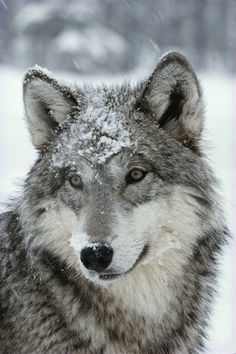 'A dusting of snow lies on the face of a gray wolf, Canis lupus.' by National Geographic. Ah, my spirit wolf looks much like this. Wolf Photos, Wolf Pictures, Animal Pictures, Beautiful Creatures, Animals Beautiful, Cute Animals, Wild Animals, Wolf Spirit, Spirit Animal