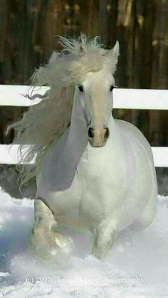 White horses in snow! Horses In Snow, Cute Horses, Horse Love, Wild Horses, All The Pretty Horses, Beautiful Horses, Animals Beautiful, Horse Photos, Horse Pictures