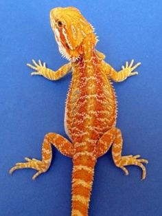 #12 Tangerine phase female 11 inch, born 5/4, $185.00, clickt to enlarge photo