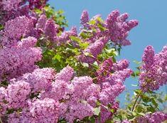 Отправить материалы Lilac Tree, Purple Lilac, Natural Background, Garden Trees, Flowering Trees, Anna, Nature, Flowers, Plants