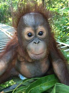 Meet Josh the Orphaned Baby Borneo Orangutan   The Great Projects