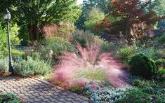 Pink Muhly Grass Photo 3