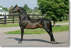 Morgan Horse - stallion Mizrahi