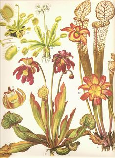 I'm planning a carnivorous plant garden 1/2 sleeve and found some beautiful illustrations by Ernst Haeckel.