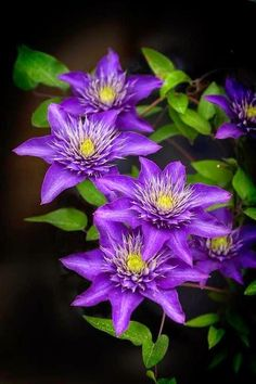 flowersgardenlove:  ✯ Clematis Beautiful lovely