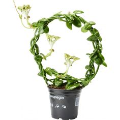 Mycket tuff, lättodlad, klättrande slingerväxt med långa, gröna rankor, små och få blad men mycket vackra blommor. ...