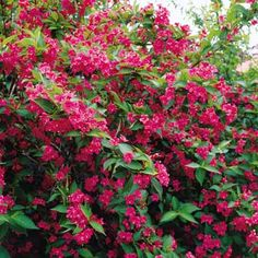 Bristol Ruby Weigela The Bristol Ruby Weigela a beautiful, well-formed shrub, grows 4-8' tall. Thrives anywhere. In May-June ruby-red trumpet shaped flowers smother the Bristol Ruby Weigela with hundreds of blooms. Some repeat blooms until frost. Sun or semi-shade. Attracts butterflies and hummingbirds, fragrant, great cut flower. Back yard
