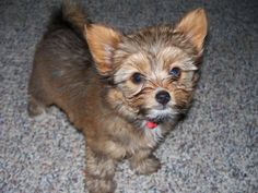 Average weight: 6 lbs  Maximum weight: 9 lbs   Yorkillons are a designer dog breed that come from crossing a Papillon and Yorkshire Terrier. They're good with children and are known for being energetic, intelligent, and playful.