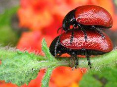 escarabajos rojos
