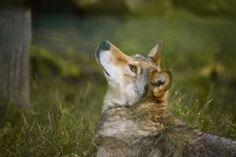 Wisentgehege 4 by Lakela on DeviantArt My Photos, Stock Photos, Grey, Gray Wolf, Deviantart, Animals, Ash, Animais, Gray