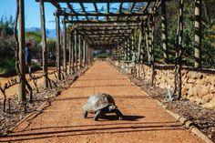 Giant tortoise at Babylonstoren, South Africa