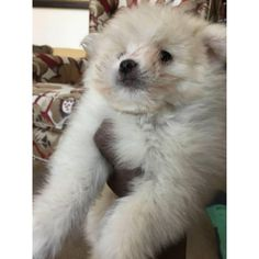 Pomeranian Winchester, We've one male pomeranian pups left! he has his first shots, dewormed, and it is my litters pick weighting 2lbs and swee...