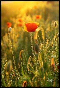 Poppyfield as I like by Kátya