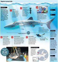 Tubarão-baleia