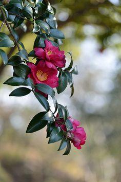 Camellia sasanqua are so beautiful right now! We are loving them!