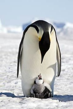 penguin with baby