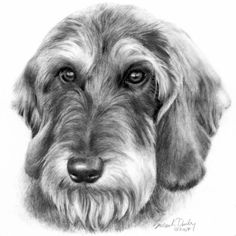 Wire-Haired Dachshund by Susan Donley