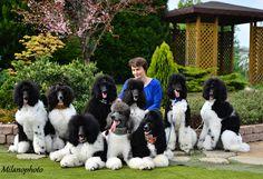 Pretty parti poodles