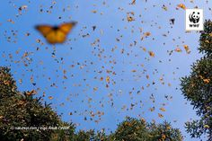 WWF #PicoftheWeek: Nature is capable of taking us on the most amazing journeys An overwintering colony of Monarch butterflies flying in the warmth of the midday sun in Michoacan, Mexico. Their stay in...