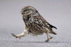 フクロウだって歩く