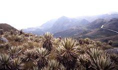 COLOMBIA | Paisajes Naturales - Frailejon