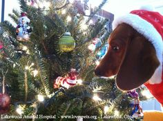 Doxie meet Doxie = Christmas bliss! Lola had a moment like this and the she tried to eat the ornament lol