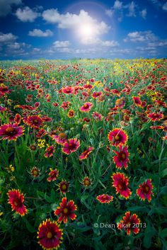 All sizes | Texas Wildflowers | Flickr - Photo Sharing!